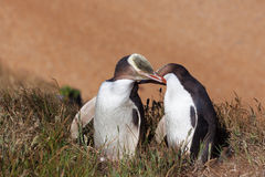 Two Yellow Eyed Penguins touching eachother Stock Photos