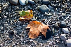 Two yellow fallen down leaves maple Stock Images