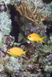 Two yellow fish Royalty Free Stock Photo