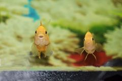 Two yellow fish are looking curiously from the aquarium. stock images