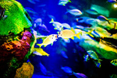 Two Yellow Fishes Kissing Stock Photo