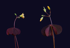 Two yellow flower. On a dark background Royalty Free Stock Photography