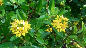 Yellow flowers are blooming in the middle of the garden. royalty free stock image