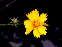 Two yellow flowers Royalty Free Stock Photography