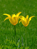 Two yellow flowers. In a field stock photo
