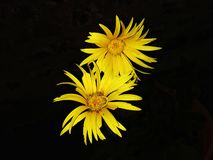 Two yellow flowers background stock image