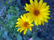 Two yellow flowers. Two yellow bright flowers in the garden royalty free stock photography