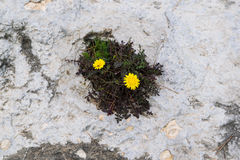 Two yellow flowers growing from the rock, wild nature, eyes in the rocks Royalty Free Stock Image