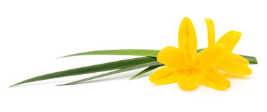 Two yellow flowers. royalty free stock image