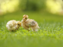 two yellow fluffy chicken Stock Photos