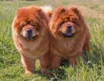 Two yellow, fluffy dogs, stand side by side. stock photos