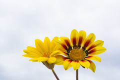Two Yellow Gazanias, One Plain, One with Red and Black. Two yellow gazanias, one sporting various shades of yellow and one with red and black. Natural cloud royalty free stock images