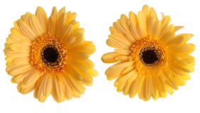 Two yellow gerbera flowers Stock Images