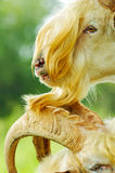 Two Yellow Goats Stock Images