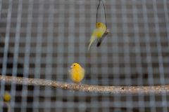 Two yellow green canary birds behind iron cage Royalty Free Stock Photography