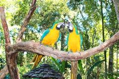 Two yellow-green parakeet stock photos