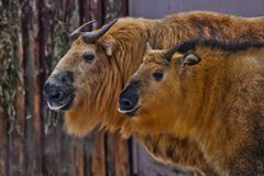 Two yellow hairy bull-Sichuan takin stand side by side head to head, powerful animals. Two yellow hairy bull-Sichuan takin stand side by side head to head royalty free stock photos
