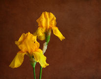 Two yellow  irises Royalty Free Stock Photography