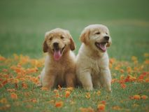 Two Yellow Labrador Retriever Puppies stock image