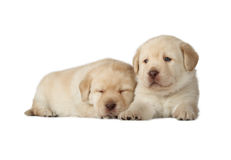 Two Yellow Labrador Retriever Puppies Stock Photos
