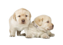 Two Yellow Labrador Retriever Puppies Stock Images