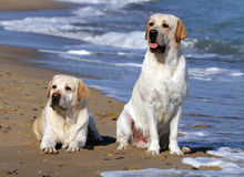 Two yellow labradors looking at the sea Stock Photography