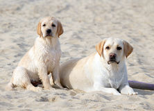 Two yellow labradors looking at the sea Royalty Free Stock Images