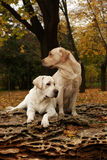 Two yellow labradors in the park in autumn Royalty Free Stock Photo