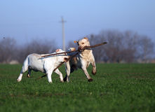 Two yellow labradors playing in the field Royalty Free Stock Photography