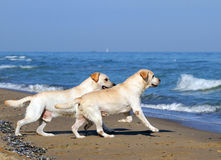 Two yellow labradors running to the sea Royalty Free Stock Photo