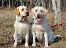 Two yellow labradors Royalty Free Stock Photography