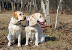 Two yellow labradors Royalty Free Stock Image