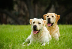 Two Yellow Labs Royalty Free Stock Photography