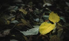 Two yellow leafs among colorless friends royalty free stock photography