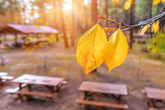 Two yellow leaves Stock Image