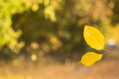 Two yellow leaves joined together creating Royalty Free Stock Images
