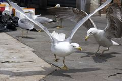 Two yellow-legged gulls fighting for food in the port. Dramatic action scene Royalty Free Stock Images