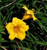 Two Yellow Lilies stock photo