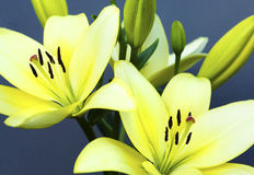 Two yellow lilies. Two yellow lilies with the smell of the blue-gray background stock images