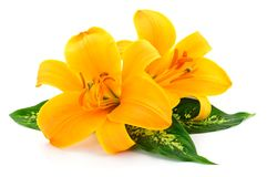 Two yellow lilies. Royalty Free Stock Photography