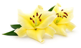 Two yellow lilies. Stock Photography