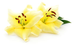 Two yellow lilies. Stock Image