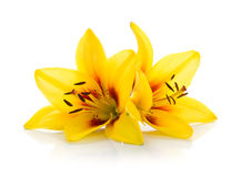 Two yellow lily. Isolated on white background Royalty Free Stock Images