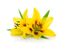 Two yellow lily Stock Photos
