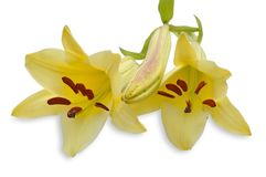 Two yellow lily Stock Images