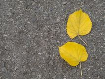 Two yellow lime tree leaves on asphalt road autumn background Stock Images