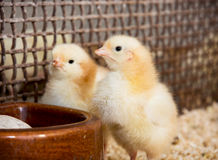 Two yellow little chicks Stock Photos