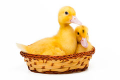 Two yellow little ducks Royalty Free Stock Photos