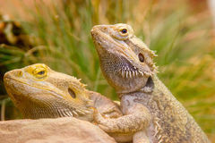 Two yellow lizzards copulating in grass Stock Photos