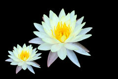 Two yellow lotus on black Royalty Free Stock Photos